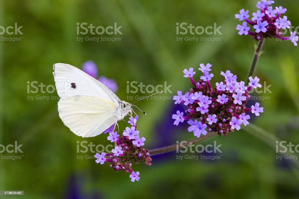 Butterfly on tall verbena stock photo