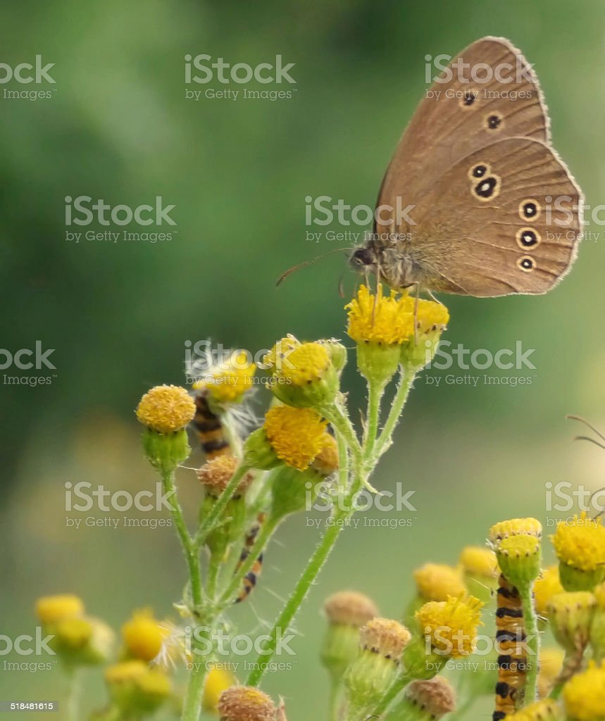Butterfly on tansy royalty-free stock photo