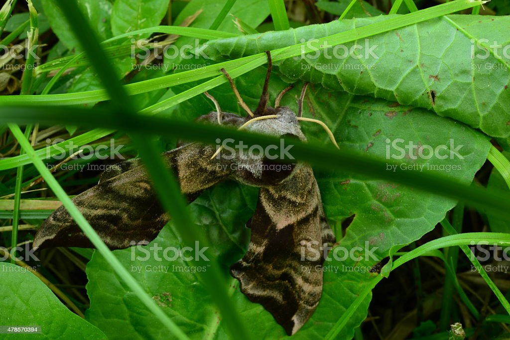 Butterfly on the grass moves smerinthus ocellatus stock photo