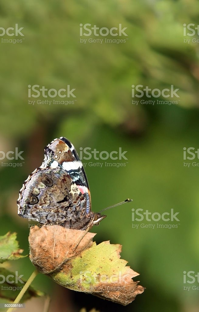 Butterfly on the vine list Lepidoptera stock photo