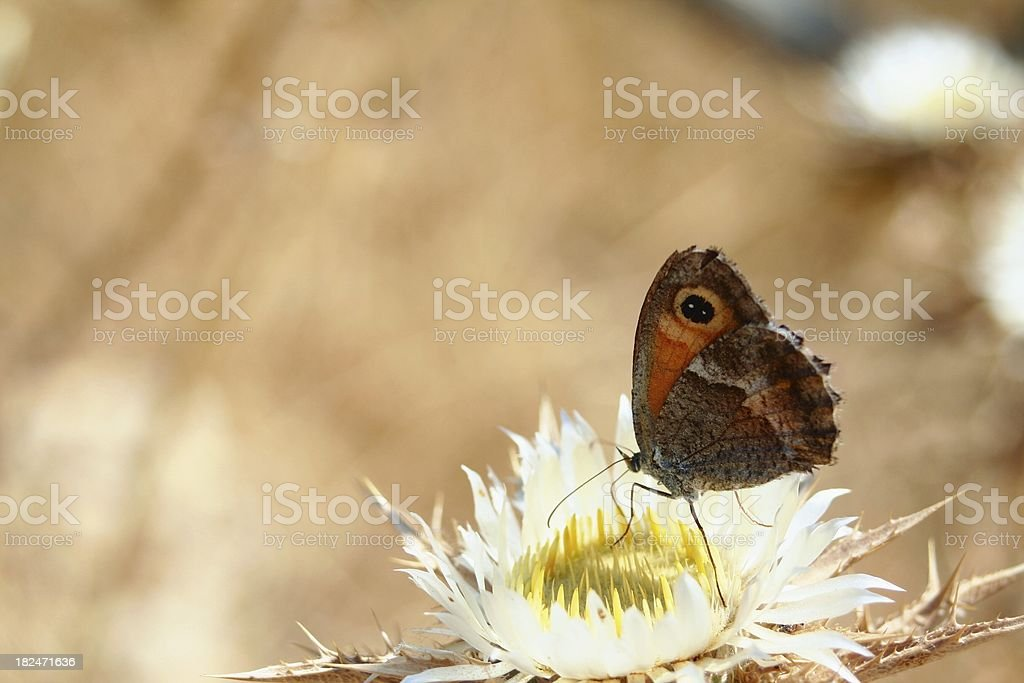 Butterfly on thistle flower stock photo
