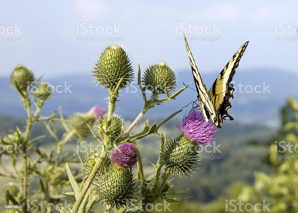 butterfly on thistle royalty-free stock photo