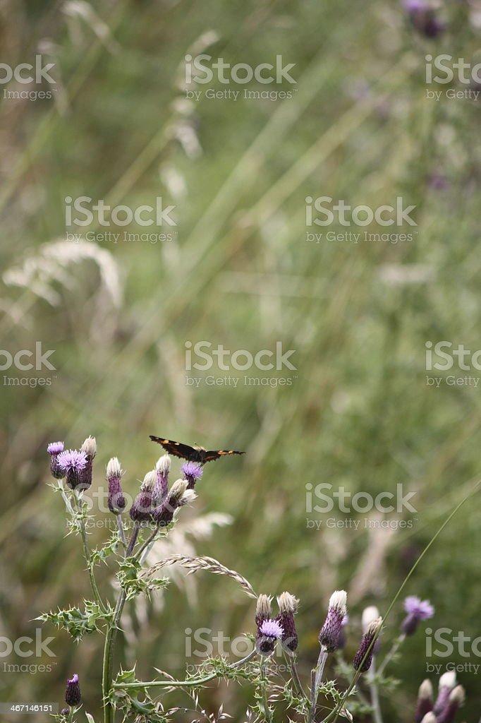 Mariposa en cardo foto de stock libre de derechos
