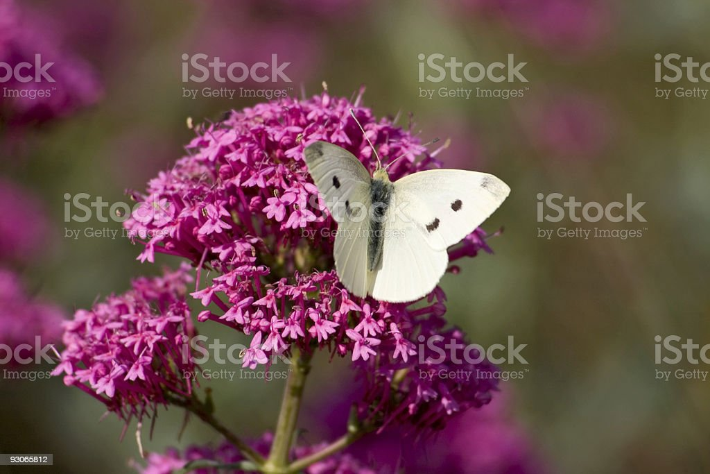 Butterfly on valerian stock photo