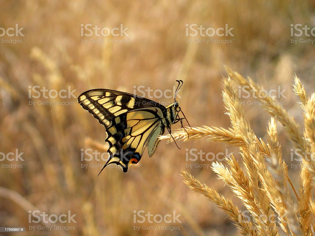 Butterfly on Wheat royalty-free stock photo