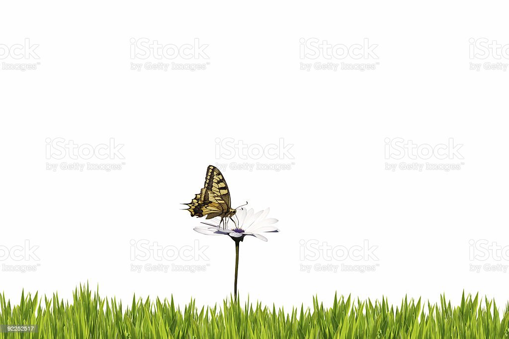 Butterfly on white daisy isolated royalty-free stock photo