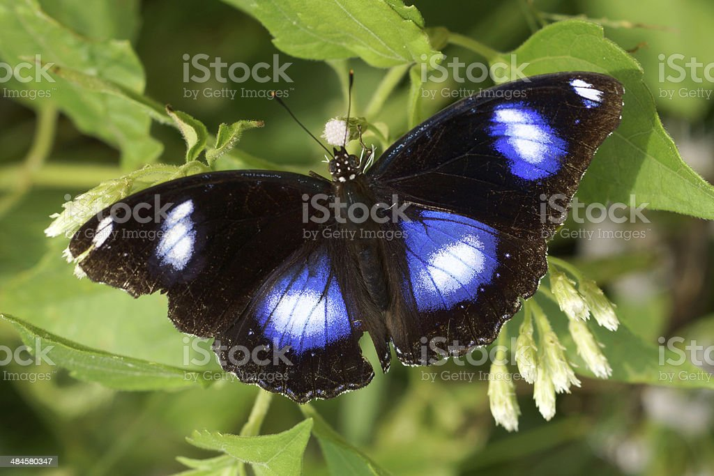Butterfly on white flower name Danaid Egg-fly stock photo