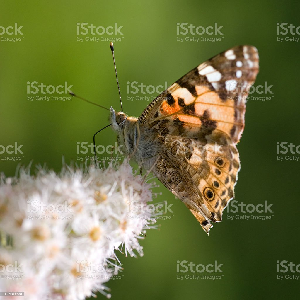 Butterfly on white lilac royalty-free stock photo