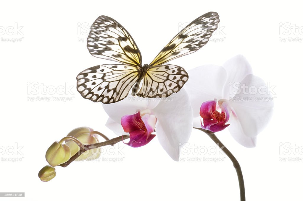 Butterfly on white orchids. stock photo