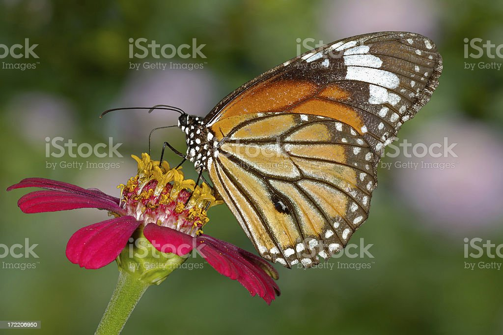 Butterfly on Zinnia royalty-free stock photo