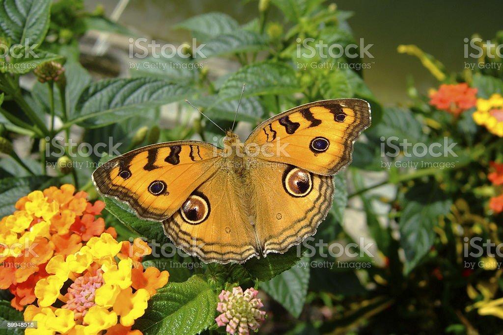 Butterfly - orange stock photo