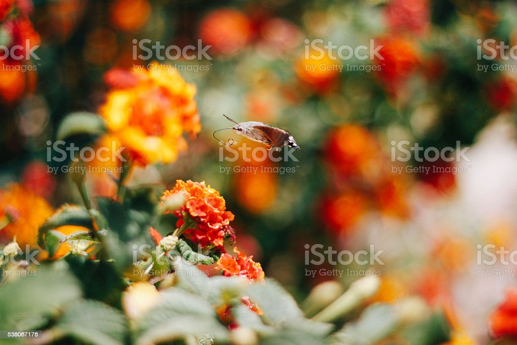 Butterfly over orange flowers stock photo