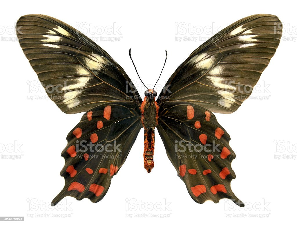 Butterfly Pachliopta hector (Clipping path) royalty-free stock photo