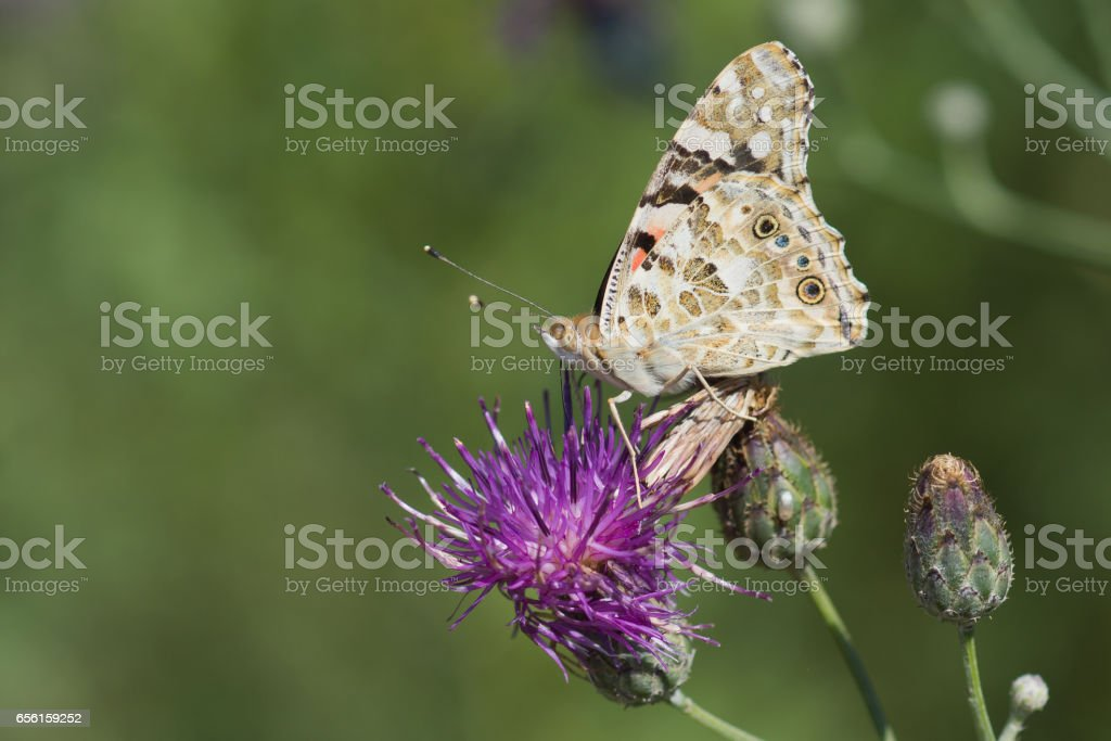 Butterfly painted lady or painted lady, or Vanessa certopoloha (lat. Vanessa cardui) on flower of Thistle stock photo