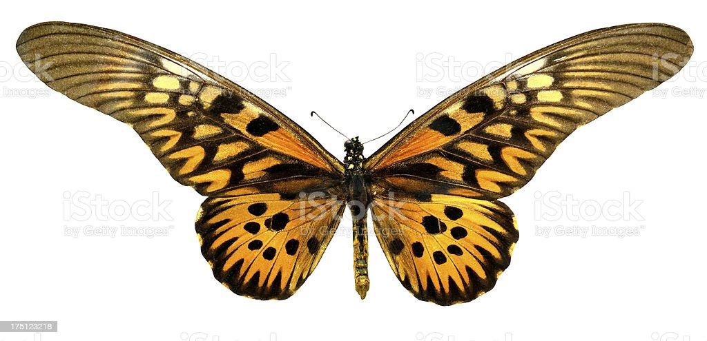 Butterfly Papilio Antimachus (clipping path) royalty-free stock photo