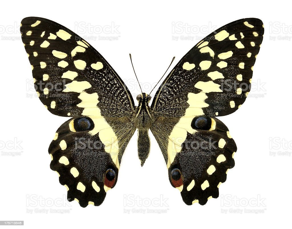 Butterfly Papilio demodocus (Clipping path) royalty-free stock photo