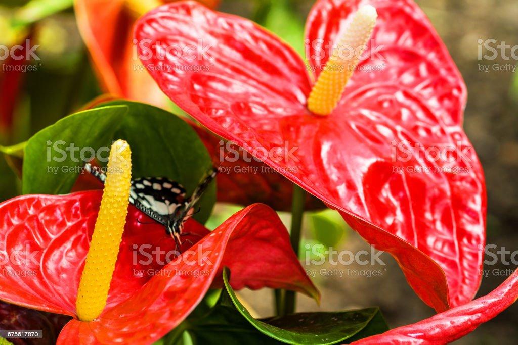 Papillon Papilio demoleus sur une fleur d'anturium stock photo