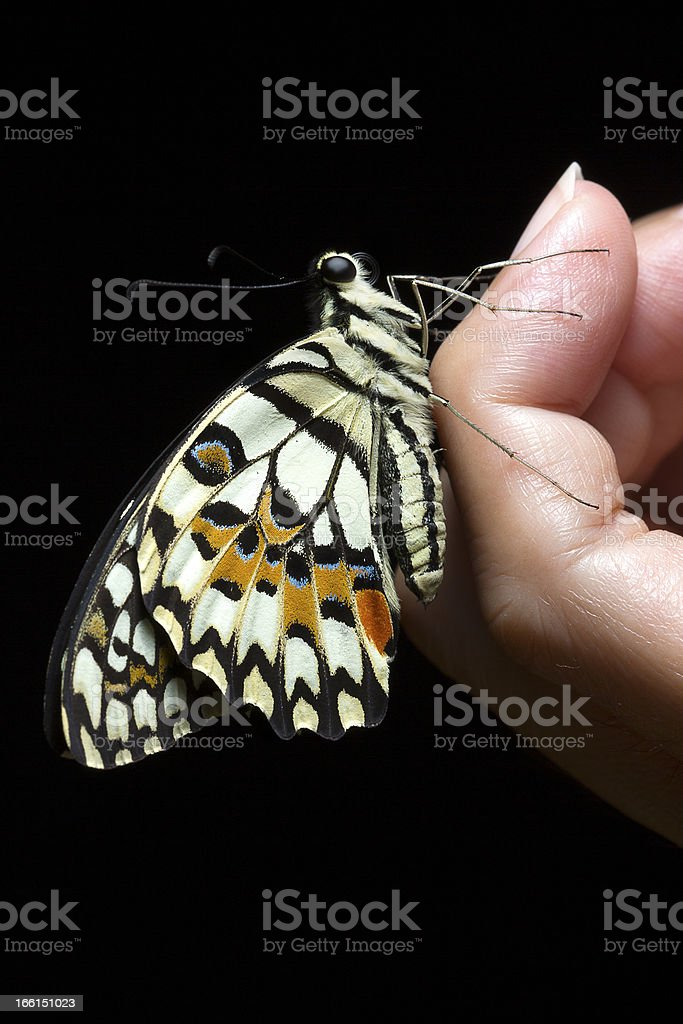 Butterfly Papilio demoleus royalty-free stock photo