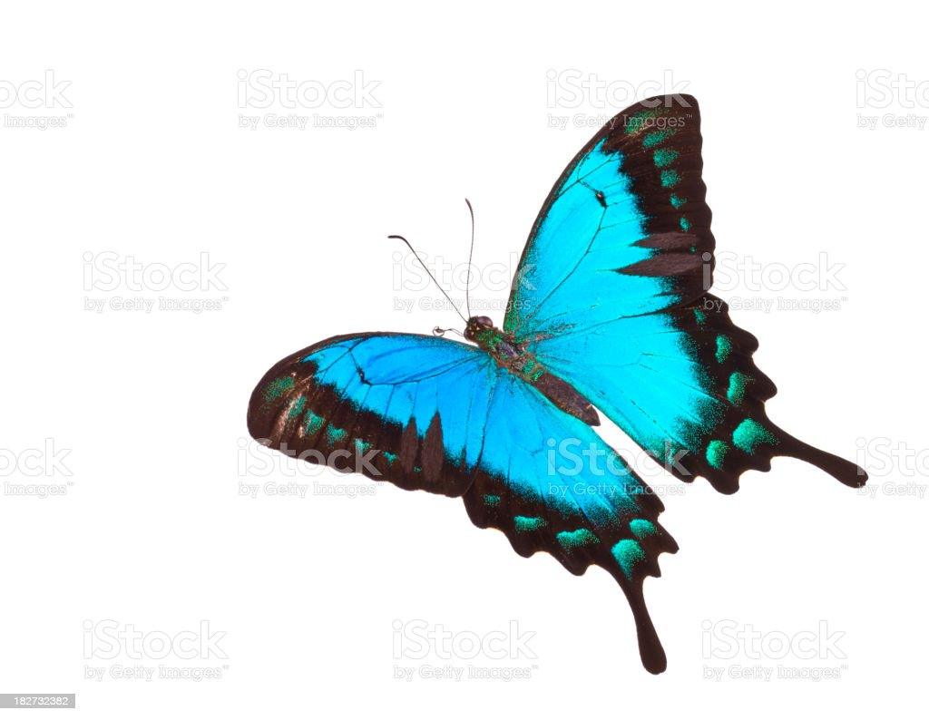 Butterfly Papilio lorquinianus albertisi stock photo