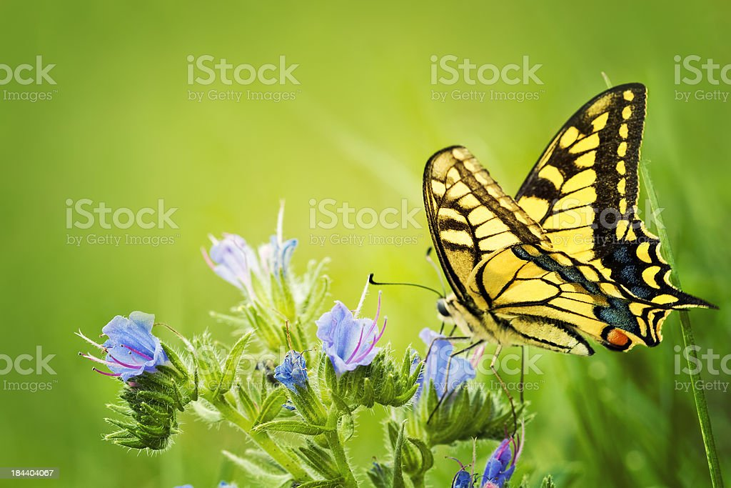 Butterfly Papilio machaon on blue flowers. stock photo