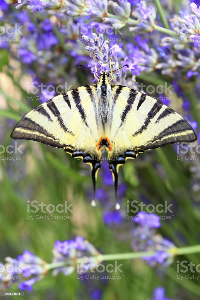 Butterfly Papilio Machaon royalty-free stock photo