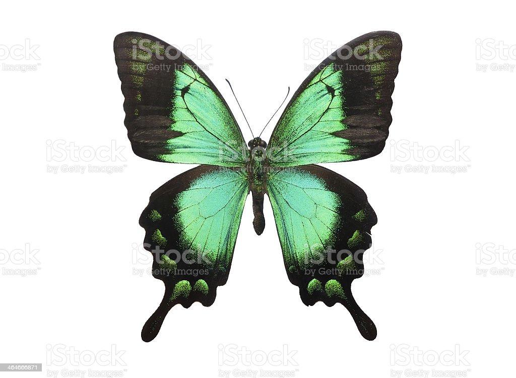 Butterfly Papilio Palinurus stock photo