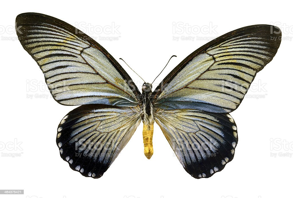 Butterfly Papilio zalmoxis (Clipping path) royalty-free stock photo