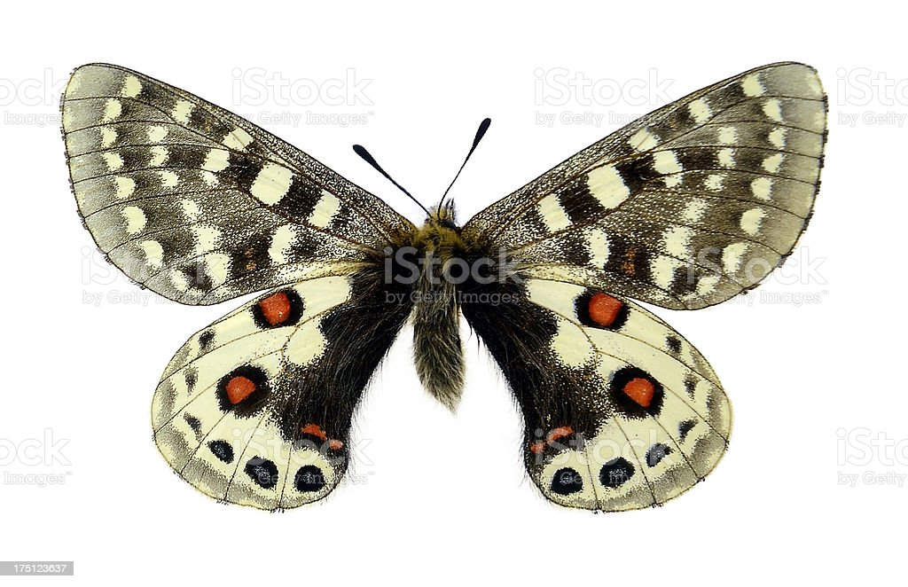 Butterfly Parnassius orleans (Clipping path) stock photo