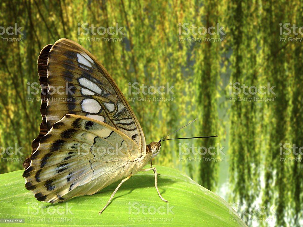 Butterfly Parthenos on leaf royalty-free stock photo
