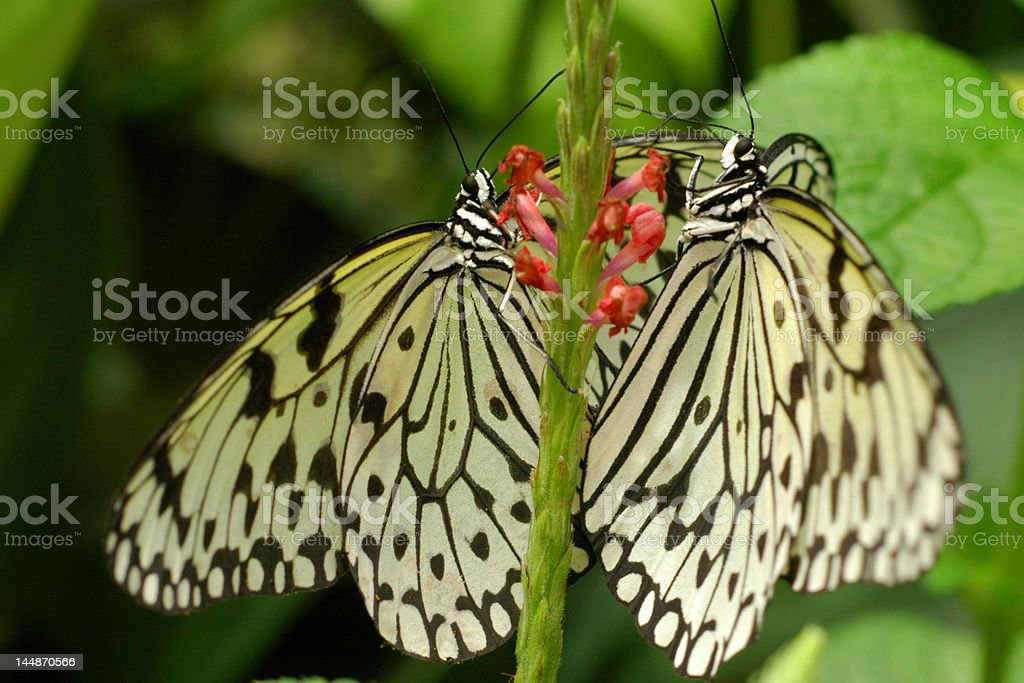 Butterfly Partners royalty-free stock photo