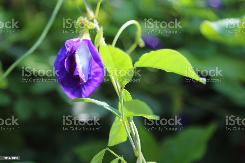 Butterfly Pea Flower is a herb. stock photo