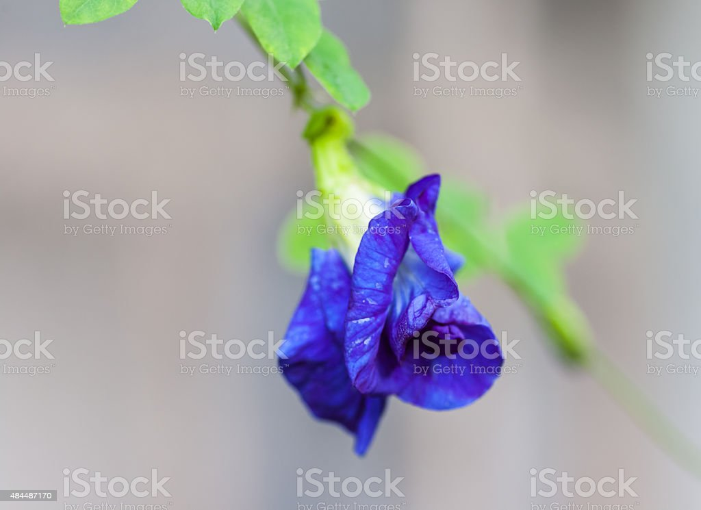 Butterfly pea flower medicinal herbs to treat disease and certai stock photo