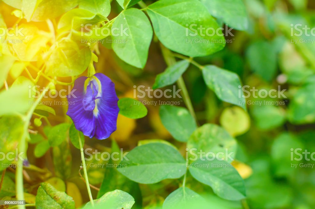 butterfly pea flower nature herb stock photo