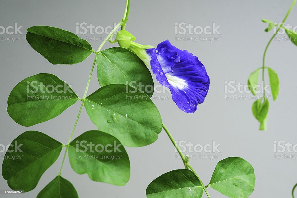Butterfly pea flower royalty-free stock photo