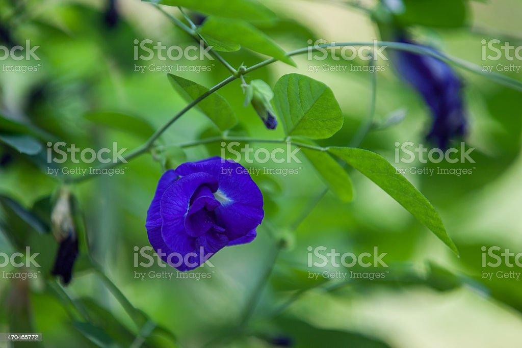 Butterfly Pea Flower stock photo