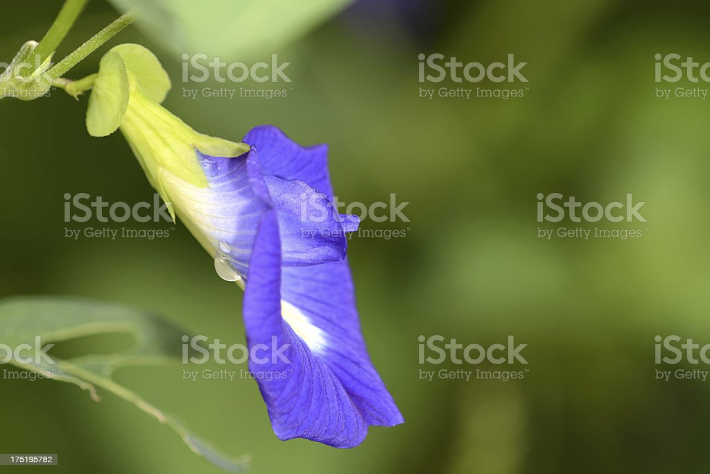 Butterfly Pea flower Thai Herb royalty-free stock photo