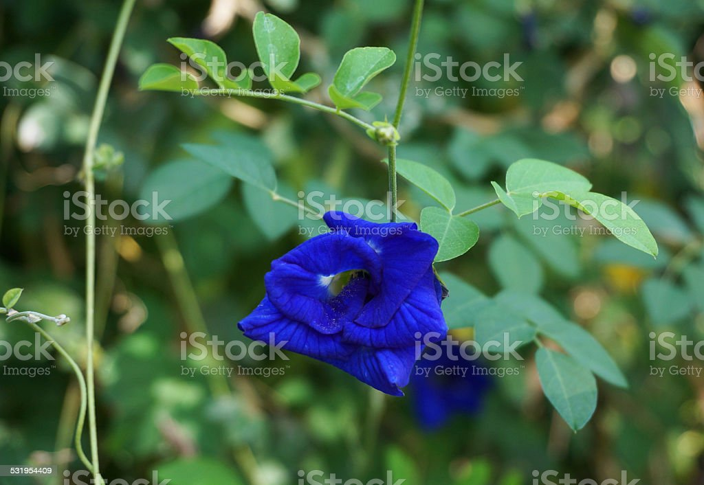 Butterfly Pea in full bloom stock photo