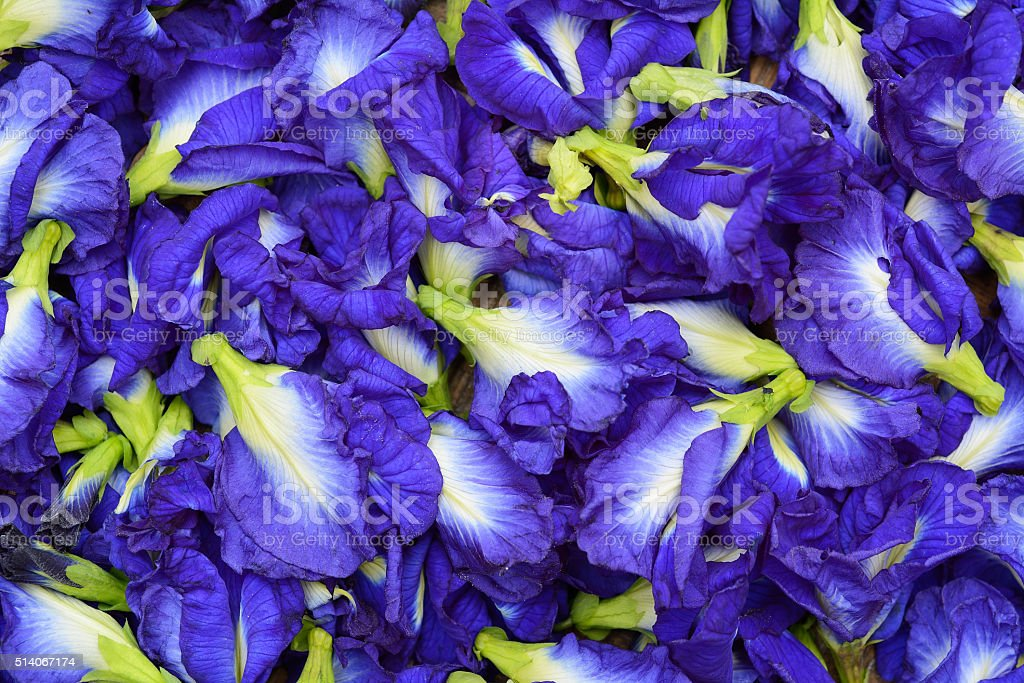 Butterfly Pea isolated on white background stock photo