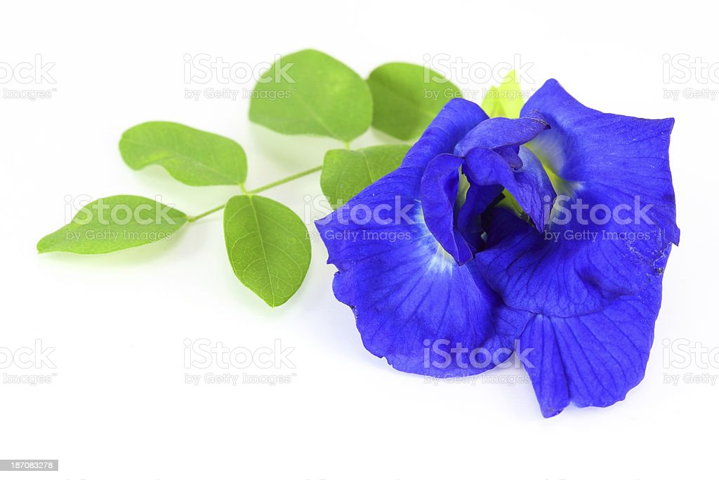 Butterfly Pea on white background royalty-free stock photo