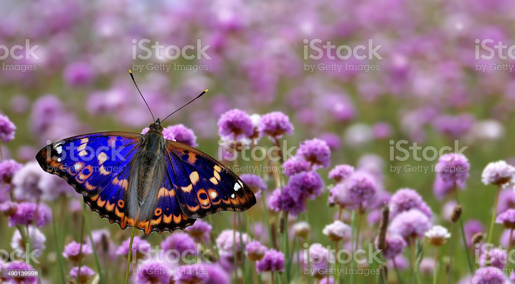 Butterfly perched on purple flower panoramic view stock photo