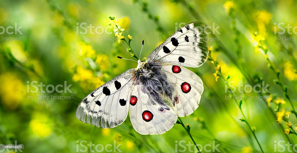 Butterfly perched on yellow flowers panoramic view stock photo