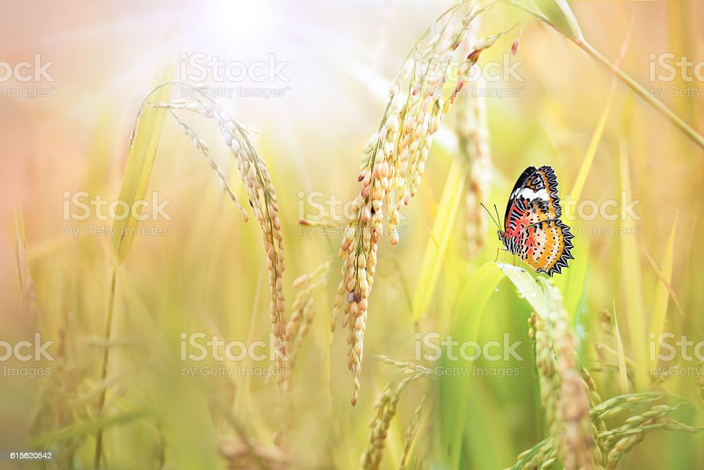 Butterfly (Leopard lacewing) perching on the rice plant stock photo