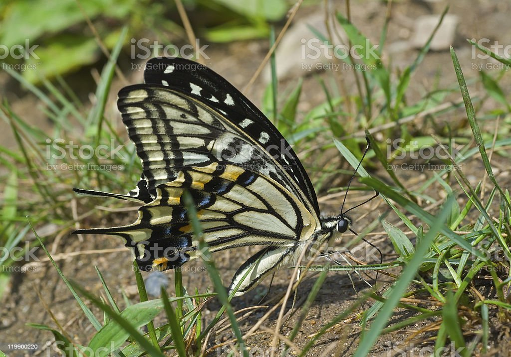 Butterfly (Papilio xuthus) royalty-free stock photo