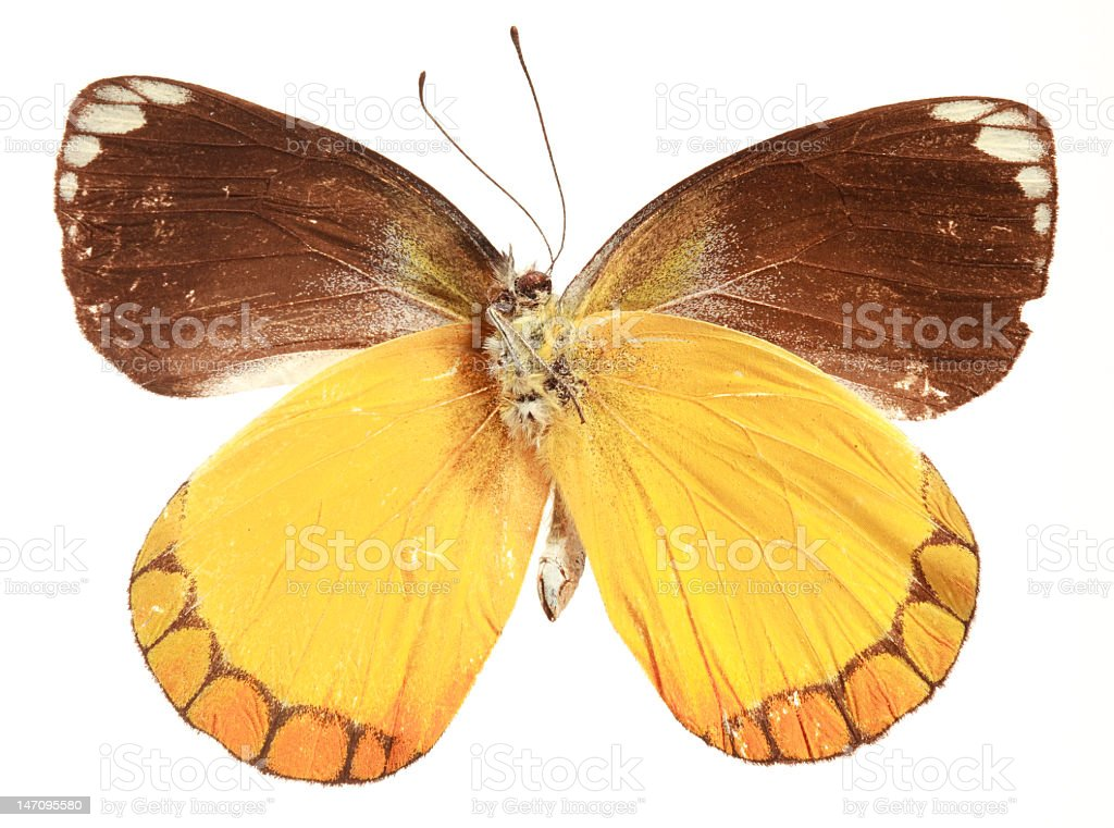 Butterfly (Delias sp.)(underside) royalty-free stock photo