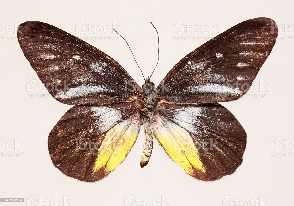 Butterfly (Delius ninus) royalty-free stock photo