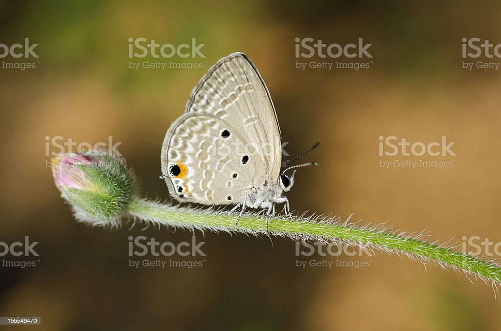Butterfly (Small Lycaenid) royalty-free stock photo