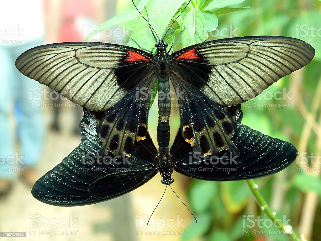 butterfly #13 royalty-free stock photo