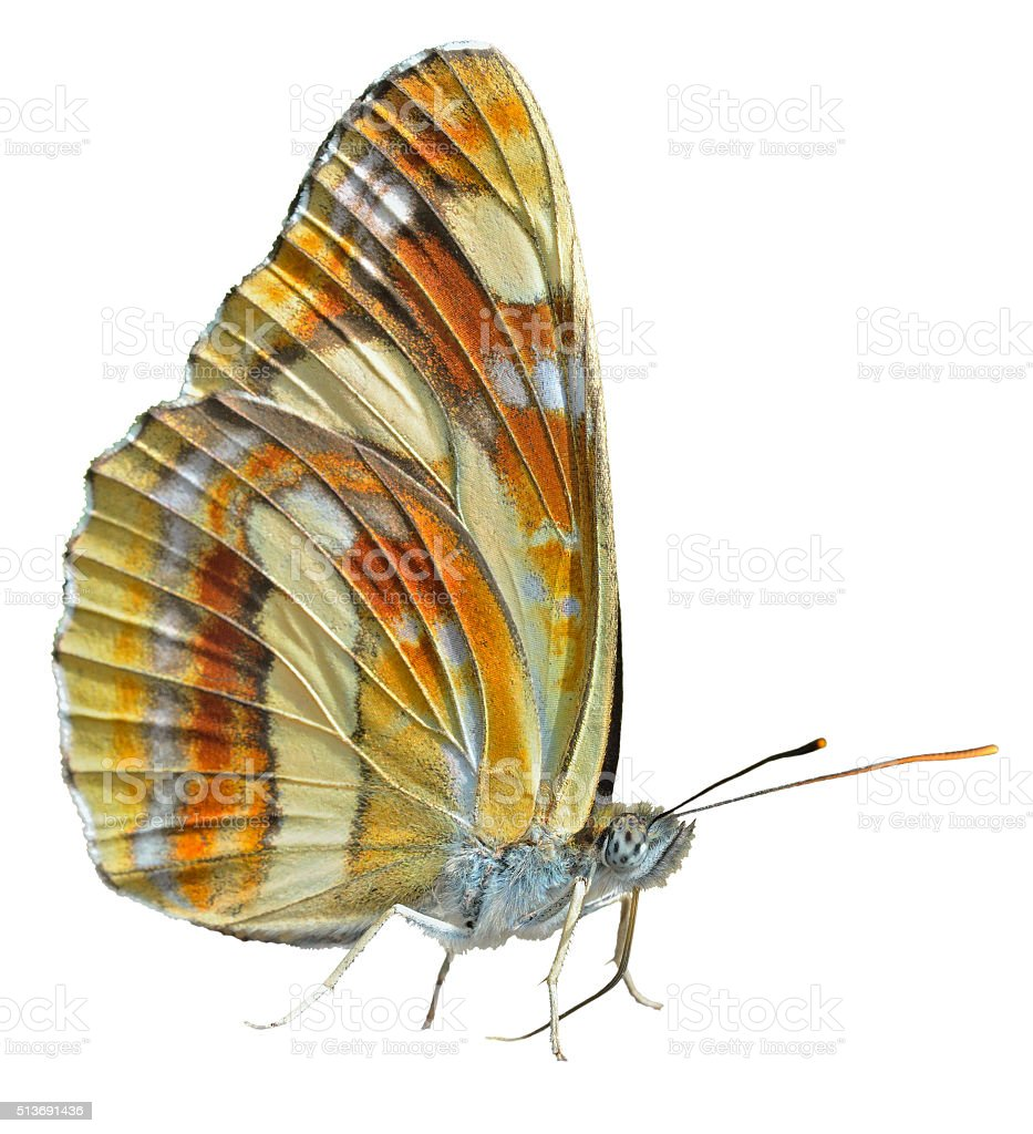Butterfly (Neptis thisbe) stock photo