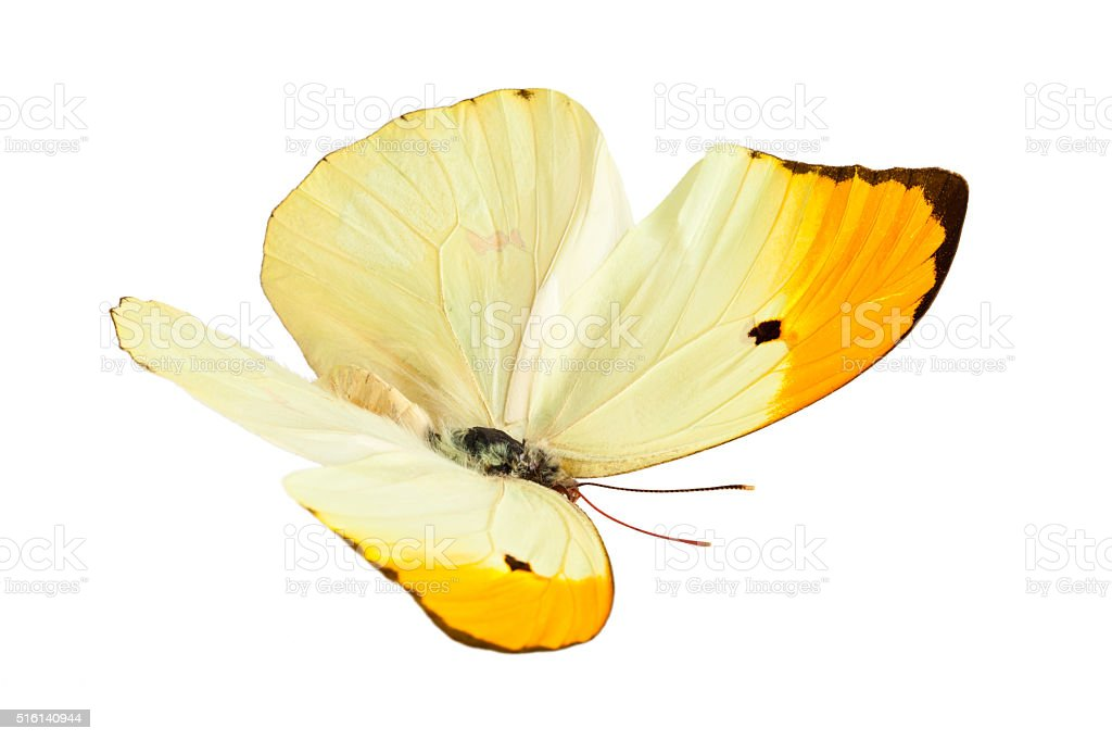 Butterfly (Anteos Menippe). stock photo