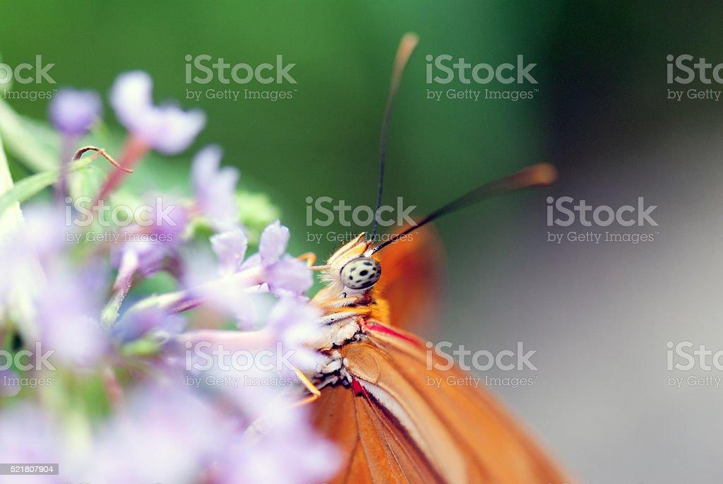 Butterfly (Dryas Julia) stock photo